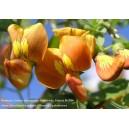 Moszenki południowe (Colutea arborescens) 5 nasion