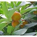 Aksamitne jabłko - velvet apple, velvet persimmon, mabola tree (Diospyros discolor) sadzonki