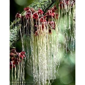 http://www.oleander.pl/1366-2485-thickbox/herrania-purpurea-kakao-z-gor.jpg