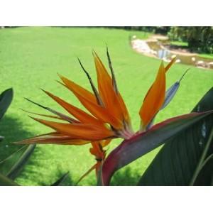 http://www.oleander.pl/1380-2506-thickbox/strelicja-strelicia-reginae-nasiona.jpg