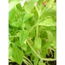Sadzonki pomidora malinowego 10 szt