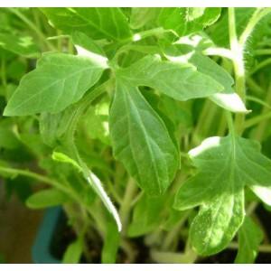 http://www.oleander.pl/1389-2514-thickbox/sadzonki-pomidora-czarnego-5-szt.jpg
