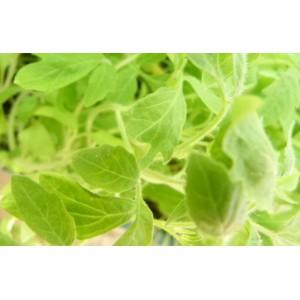 http://www.oleander.pl/1390-2515-thickbox/sadzonki-pomidora-malinowego-10-szt.jpg