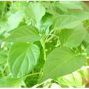 Papryka ostra 5 sadzonek
