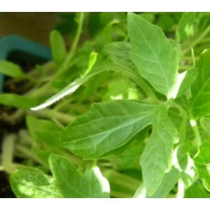 http://www.oleander.pl/1396-2521-thickbox/sadzonki-pomidora-zoltego-5-szt.jpg