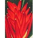 Czerwony bananowiec karłowy (musa coccinea) sadzonka