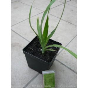 http://www.oleander.pl/1403-2530-thickbox/dracena-smocza-dracena-draco-sadzonka.jpg