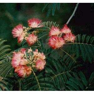 Albicja Jedwabista, Chińskie Drzewko Szczęścia (Albizia Jullibrissin) nasiona 10 szt