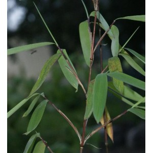 Bambus Tropikalny (Bambusa Nutans) 3 nasiona