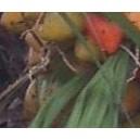 Palma Dżemowa (Bactris Gasipaes) nasiona