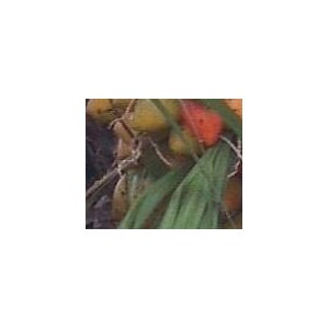 Palma Dżemowa (Bactris Gasipaes) 3 nasiona