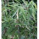 Bambus Tropikalny (Bambusa Tulda) nasiona