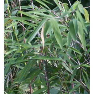 Bambus Tropikalny (Bambusa Tulda) 3 nasiona