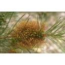 Kuflik (Callistemon Pinifolius, mrozoodporny do -5) nasiona