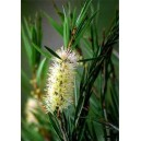 Kuflik (Callistemon Pallidus, mrozoodporny do -5) nasiona