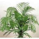 Palma Areka (Chrysalidocarpus Lutescens, Areca Lutescens) nasiona