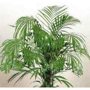 Palma Areka (Chrysalidocarpus Lutescens, Areca Lutescens) 3 nasiona