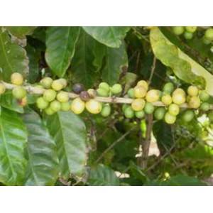 Kawa (Coffea Arabica) 1 nasiono