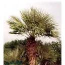 Palma Karłatka niska (Chamaerops Humilis) nasiona