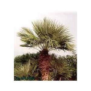 Palma Karłatka niska (Chamaerops Humilis) 1 nasiono