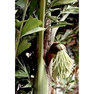 Palma Orzechowa, Kariota łagodna (Caryota Mitis) 3 nasiona
