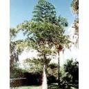 Palma Orzechowa, Kariota Parząca (Caryota Urens) nasiona