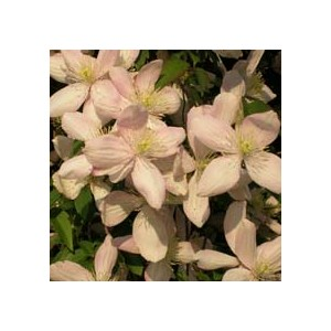 http://www.oleander.pl/257-1071-thickbox/powojnik-pnacze-clematis-montana-nasiona.jpg