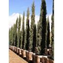 Cyprys wieczniezielony (Cupressus Sempervirens) nasiona