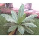 Banan Skalny (Ensete Superbum) nasiona