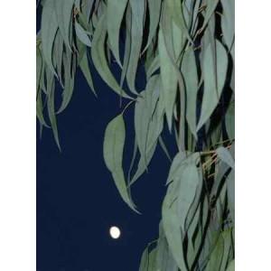 Eukaliptus (Eucaliptus Dalrympleana) nasiona 10 szt