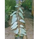 Eukaliptus (Eucaliptus Niphophila) nasiona