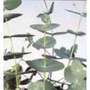 Eukaliptus (Eucaliptus Periniana) nasiona
