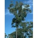 Eukaliptus (Eucaliptus Sieberi) nasiona
