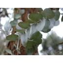 Eukaliptus (Eucaliptus Cineira) nasiona