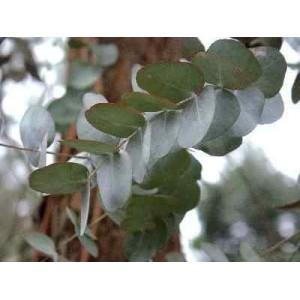 Eukaliptus (Eucaliptus Cineira) nasiona 10 szt