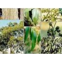 Eukaliptus (Eucaliptus Obliqua) nasiona