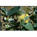 Eukaliptus (Eucaliptus Cordata) nasiona