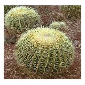 Echinocactus Grusonii Kaktus Nasiona