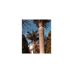 Palma Miodowa (Jubaea Chilensis) 2 nasiona