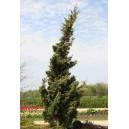 Jałowiec Chiński (Juniperus Chinensis) nasiona
