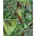 Bananowiec (Musa Zebrina) nasiona