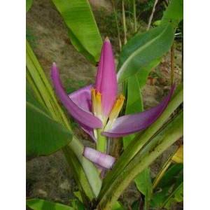Bananowiec (Musa Veluntina) nasiona 5 szt