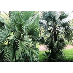 Palma Mazari (Nannorrhops Ritchiana) 3 nasiona