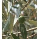 Oliwka Europejska (Olea Europea) nasiona
