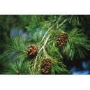 Pinia na Bonsai (Pinus Armandii) nasiona