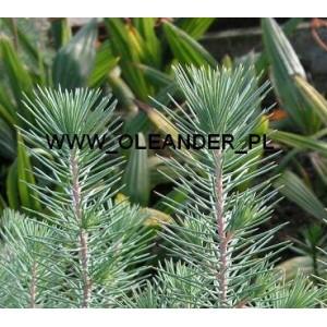 Pinia na Bonsai (Pinus Pinaster) nasiona 10 szt