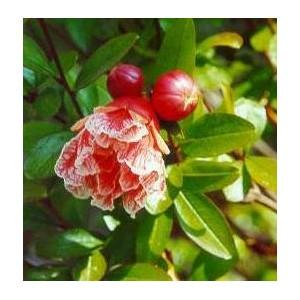 Granat Owocujący (Punica Granatum) nasiona 30 szt