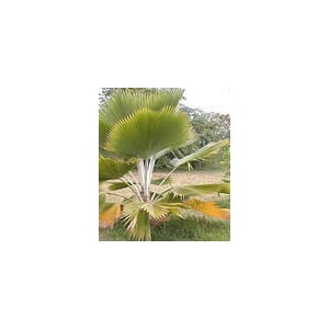 Palma Pritchardia Pacifica 1 nasiono