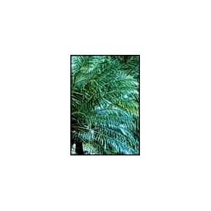 Daktylowiec Niski, Karłowy (Phoenix Roebellini) nasiona