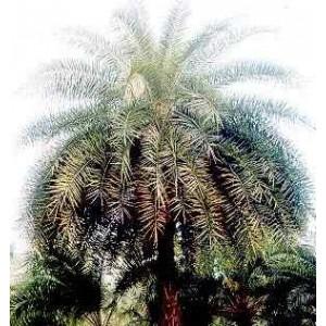 Daktylowiec Leśny (Phoenix Sylvestris) 3 nasiona